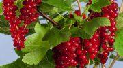 Gilaburu Suyu Tarifi Kırmızı Frenk Üzümü Faydaları